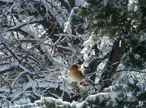 Wintercardinal